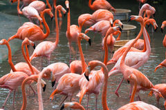 Flamingo birds Royalty Free Stock Images