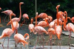Flamingo birds Royalty Free Stock Photos