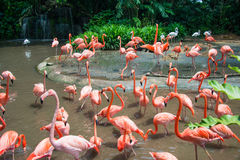 Flamingo birds. In the pond Stock Photos