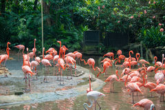 Flamingo birds in the pond Royalty Free Stock Photos