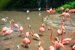 Flamingo birds in the pond Royalty Free Stock Image