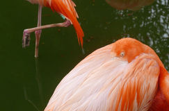 Flamingo birds in safari park Stock Photos