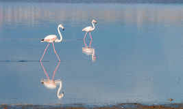 Flamingo Birds Stock Photography