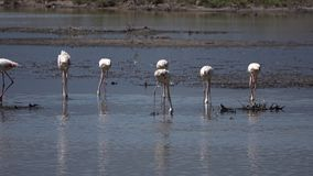 Flamingo birds on sea water. And nature stock video footage