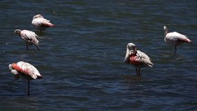 Flamingo birds on sea water. And nature stock footage