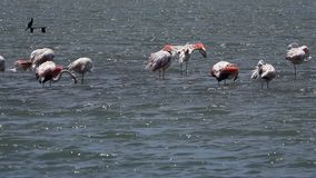 Flamingo birds on sea water. And nature stock video
