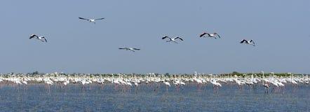 Flamingo. Birds sitting in lake Nalsarobar,Gujarat stock photography