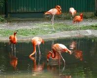 Flamingo Birds. Some Flamingo Birds near a pond in Kadoorie Farm and Botanic Garden Hong Kong Stock Image