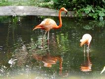 Flamingo Birds. Some Flamingo Birds near a pond in Kadoorie Farm and Botanic Garden Hong Kong Royalty Free Stock Photo