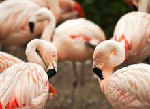Flamingo birds Stock Image