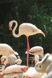 Flamingo Birds Royalty Free Stock Image