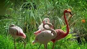 Flamingo birds in zoo stock video