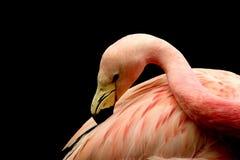 Flamingo black background B Stock Image