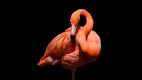 Flamingo with black background. Flamingo outdoor shot illuminated by sunlight with dark - black background Stock Photos