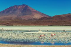Flamingo in Bolivia Royalty Free Stock Images