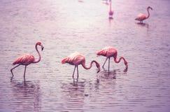 Flamingo. In Bolivia royalty free stock photo