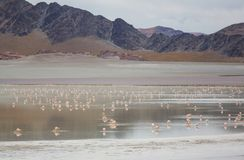 Flamingo in Bolivia Stock Image