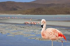 Flamingo in  Bolivia south america on the salt lakes Royalty Free Stock Photo