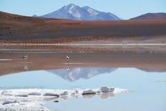 Flamingo boliviano selvagem foto de stock