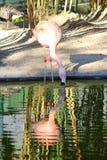 Flamingo. Botanical garden, flamingo water nature Royalty Free Stock Images