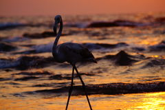 Flamingo branco no por do sol Imagens de Stock Royalty Free