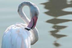 Flamingo branco perto da água imagens de stock royalty free