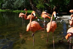 Flamingo Buddies. These two buddies, were talking Royalty Free Stock Images