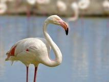 Flamingo in Camargue stock photos