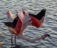 Flamingo in the Camargue , France Royalty Free Stock Images