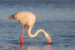 Flamingo, Camargue, France Royalty Free Stock Photo