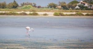 Flamingo Camargue Provence Arkivbild