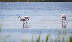 Flamingo Camargue Provence Royaltyfri Bild