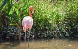 Flamingo caribbean Stock Images
