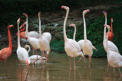 Flamingo Celebration. Flamingos warbled for food feeding celebration at pond Stock Photo