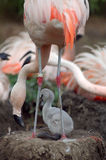 Flamingo and chick. A Chilean flamingo and chick in an Iowa zoo stock photo