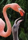 Flamingo. And a  chick Royalty Free Stock Photography