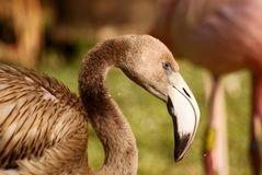 Flamingo Chick Royalty Free Stock Photography