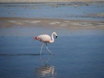 Flamingo in Chile stockfotos