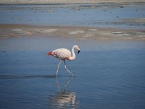 Flamingo in Chile stock photos