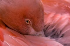 flamingo chilean fotografia royalty free