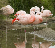 flamingo chilean zdjęcie royalty free
