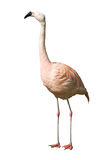 Flamingo Chilean Stock Image