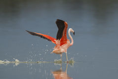 Flamingo. Chilean Flamingo, Phoenicopterus chilensis, La Pampa , Argentina royalty free stock image