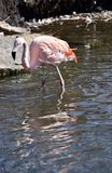 Flamingo chileno Foto de Stock