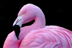 Flamingo chileno imagem de stock royalty free