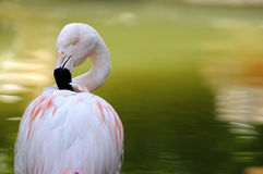 Flamingo chileno imagem de stock royalty free