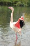 Flamingo chileno Imagens de Stock