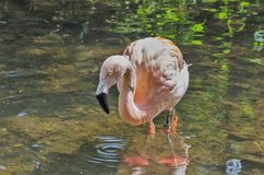Flamingo. At Claythorpe Mill in Lincolnshire Royalty Free Stock Images