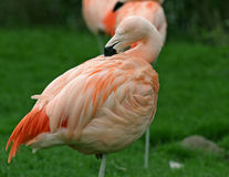 Flamingo cleaning Royalty Free Stock Images