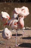 Flamingo cleaning its feathers Royalty Free Stock Image